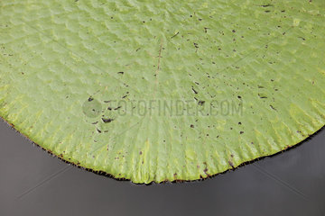Water lily leaf on water