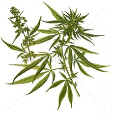 Hanf Cannabis sativa