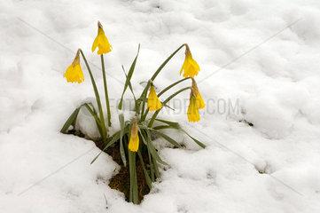 Osterglocken im Schnee