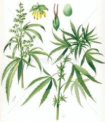 Heilkraeuter Kraeuter Hanf Cannabis sativa kleine Datei