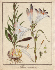 Madonna lily  Lilium candidum