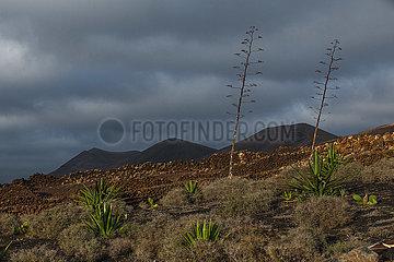 Agave blossoms - Las Brendas  Lanzarote