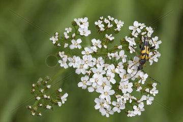 Longhorn beetle on white blossom