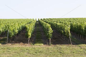 Vineyard  Bordeaux  France