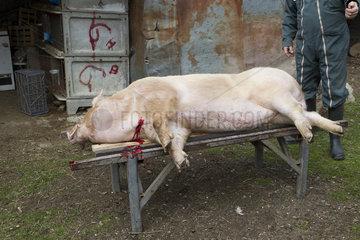 Slaughtered pig