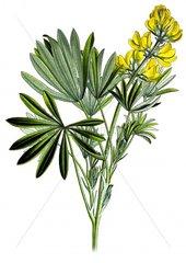 Gelbe Lupine Lupinus luteus