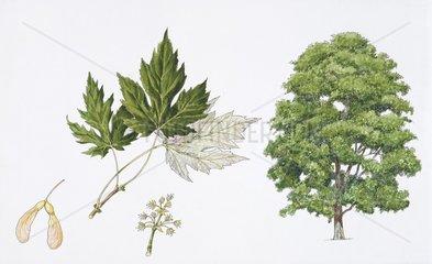 Silver maple (Acer saccharinum) flower  leaf and maple seeds  illustration