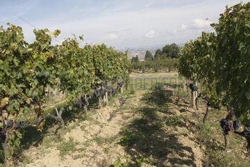 Weinberg in Montalcino