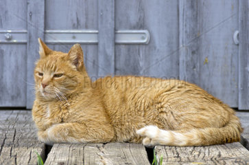 Rothaarige  vertraeumte  vor sich hindoesende Hauskatze