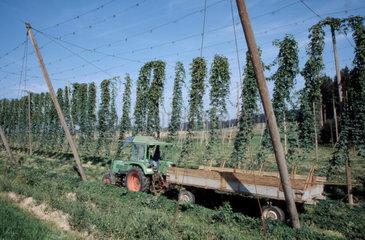 Hopfenreben mit Traktor