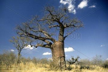 botswana  moremi national park
