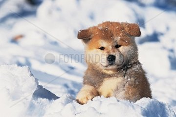 Akita Inu puppies portraits  snow