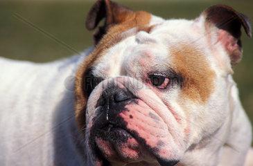 Bulldog portraits