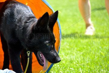 schwarzer Schaefer-Welpe kommt aus einem Hundetunnel