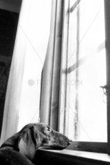 Hund schaut aus Fenster