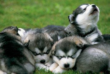 Alaskan Malamute puppy portraits