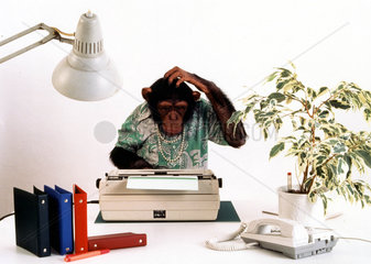 Schimpansenlady an der Schreibmaschine