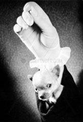 kleiner Hund im Hemdsaermel