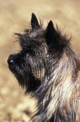 Cairn Terrier portraits