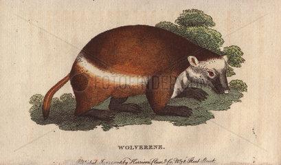Wolverene or glutton Gulo gulo (Ursus luscus)
