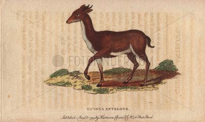 Guinea antelope  Grimm or common Duiker Sylvicapra grimmia (Antilope grimmia  Moschus grimmia)