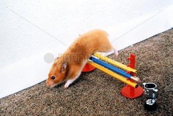 Hamster beim Huerdenlauf