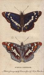 Purple emperor butterfly Apatura iris