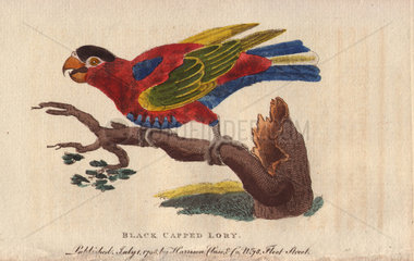 Black-capped lory Lorius lory (Psittacus lory)