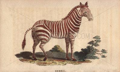Zebra Equus quagga