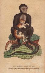 Middle sized black monkey (langur) Cercopithecus maurus
