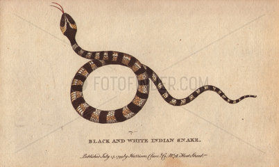 Black and white indian snake