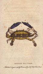 Indian sea crab