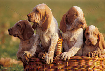 Bracco Italiano portraits  puppies