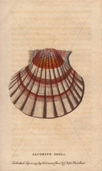 Jacobine shell or scallop