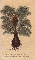 Fern pine of New South Wales Podocarpus?