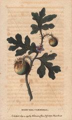 Potato apple fruit or Bomurra cammerral Solanum sp?