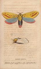 Ghost moth Hepialus humuli