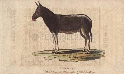 Wild mule Equus mulus