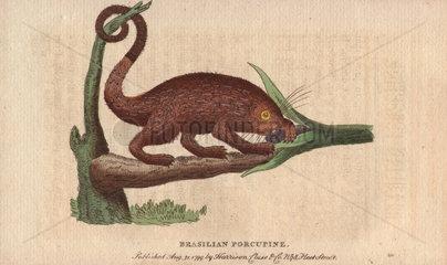 Brasilian porcupine Coendou prehensilis