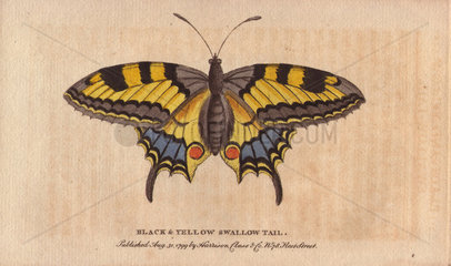 Black and yellow swallowtail butterfly Papilio machaon