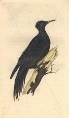 Great black woodpecker with vermillion cap and jet black plumage. Dryocopus martius (Picus martius)