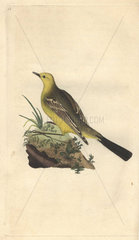 Yellow wagtail with beautiful yellow and olive green plumage. Motacilla flava