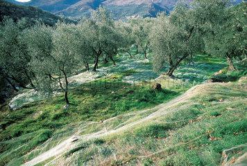 Italy  Liguria  olive tree grove