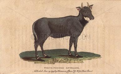 White footed antelope (Nylghau or Nilgai) Boselaphus tragocamelus