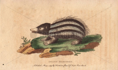 Asiatic hedgehog  tanrec or tailless tendrac Erinaceus ecaudatus