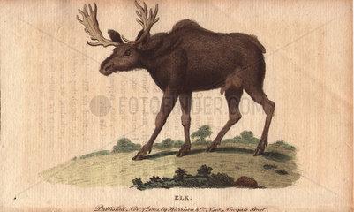 Elk or wapiti Cervus canadensis