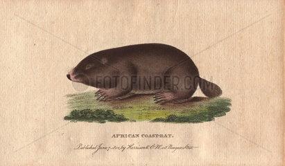 African coast rat  Cape mole rat  African mole rat or sand mole Georychus capensis (Mus myotalpa maritima)