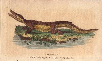 Crocodile Crocodylus niloticus
