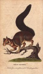 Great squirrel  Malabar squirrel  Indian giant squirrel or Malabar giant squirrel Ratufa indica (Sciurus maximus)