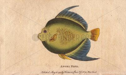 Angel fish or Monk fish Pomacanthidae